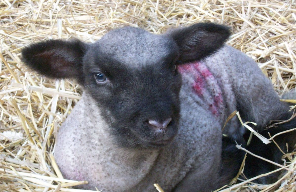 Guests are welcome to cuddle lambs and watch any being born during the lambing season in March