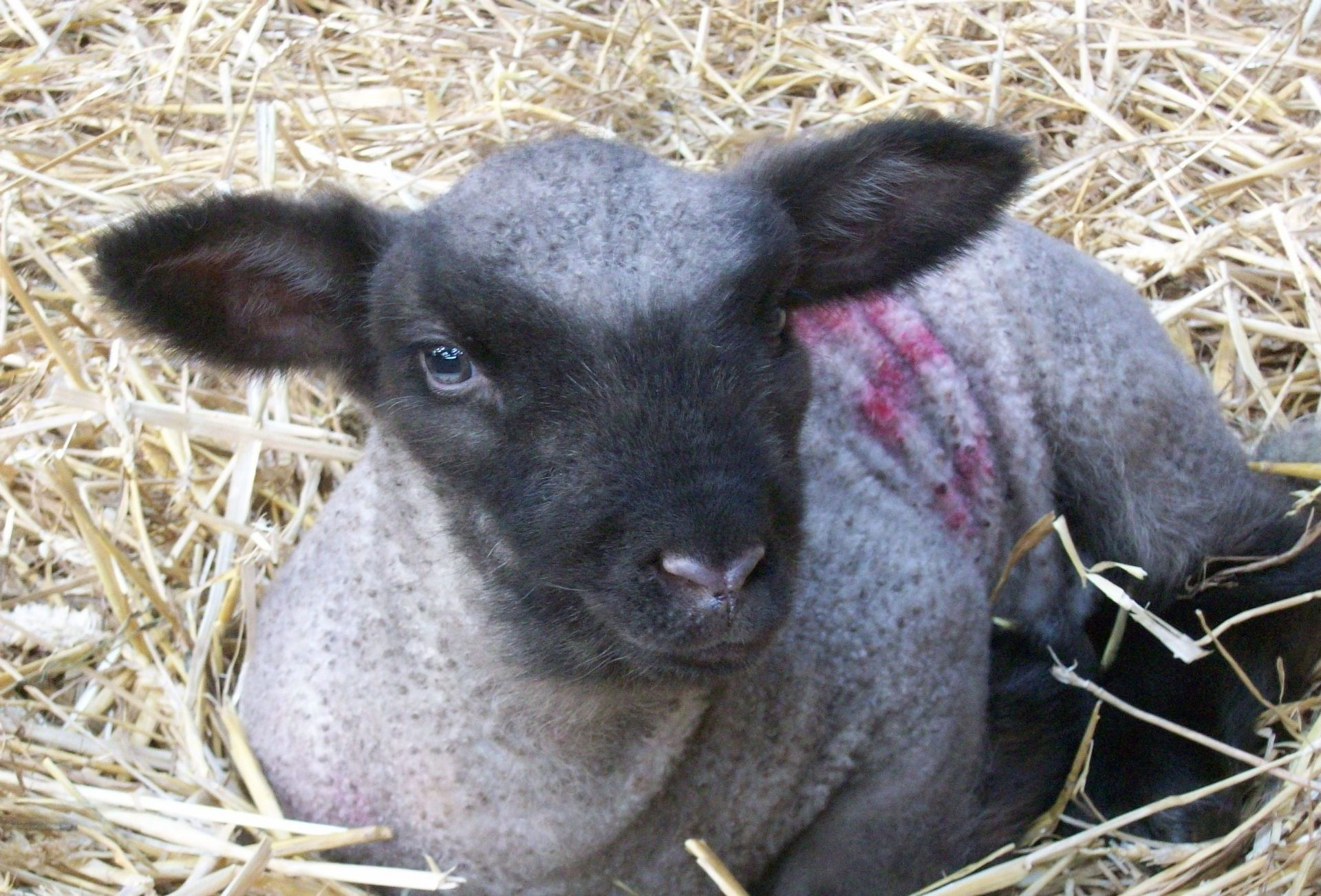 Guests are welcome to cuddle lambs and watch any being born during the lambing season during March
