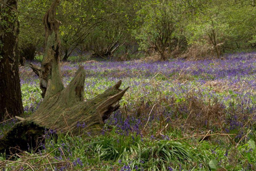 Field full of Bluebells