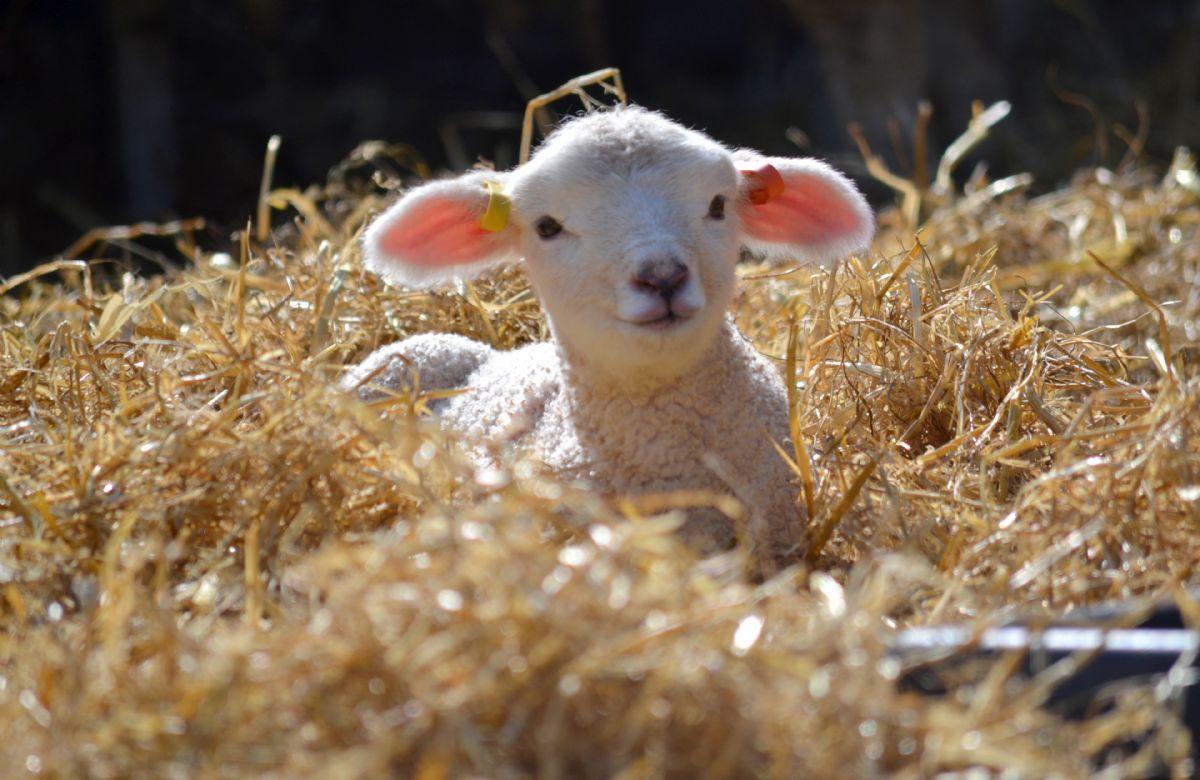 Delightful lambs at Adam Henson's Cotswold farm park