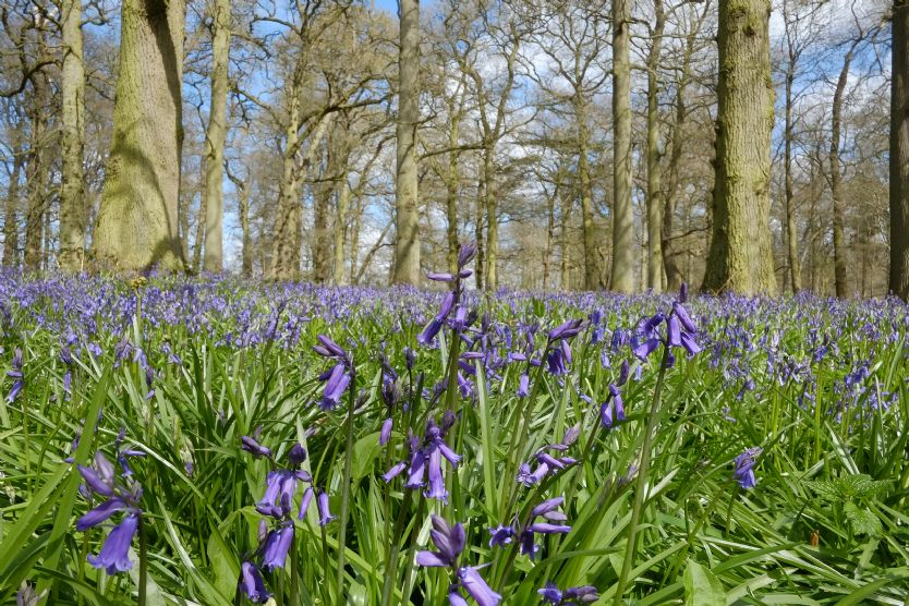 Local Area: Bluebell walk at nearby Blickling Hall