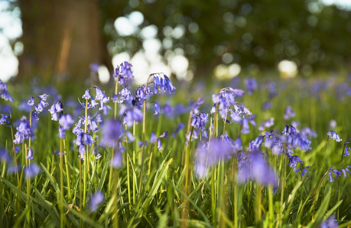 Beautiful bluebells growing wild in the spring sunshine