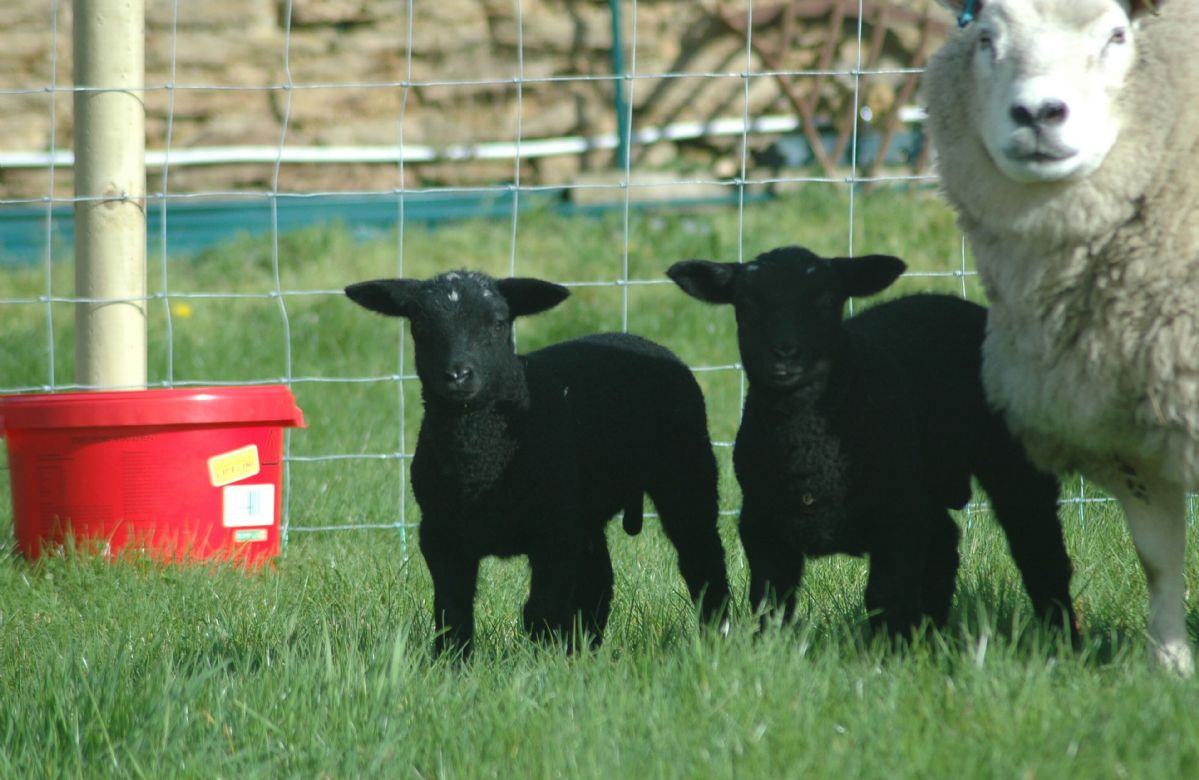 Visit the lambs in Springtime at the farm
