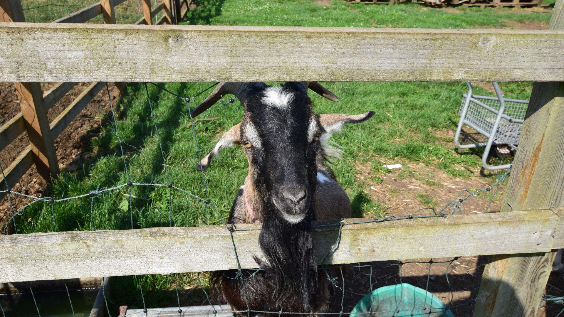 Friendly goats on-site, Shepherds Hut at Avon Farm, Bolthole Retreats