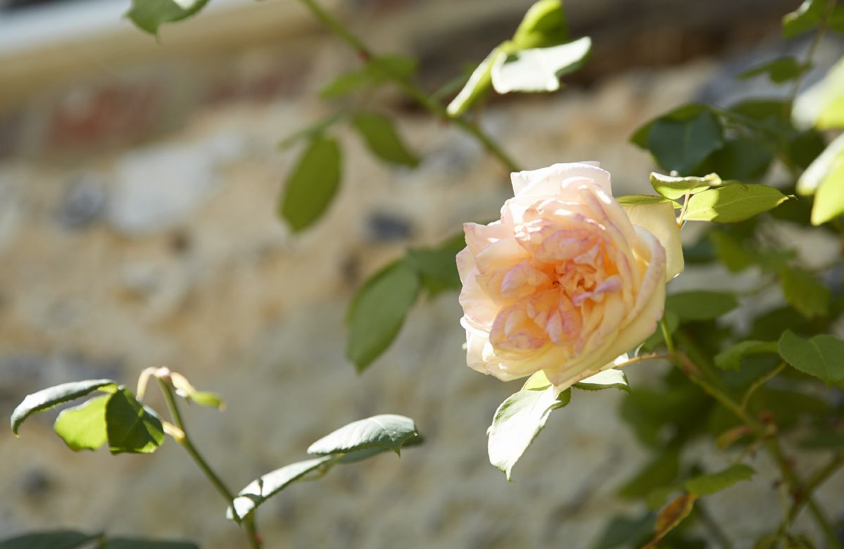 Roses in bloom during summer months
