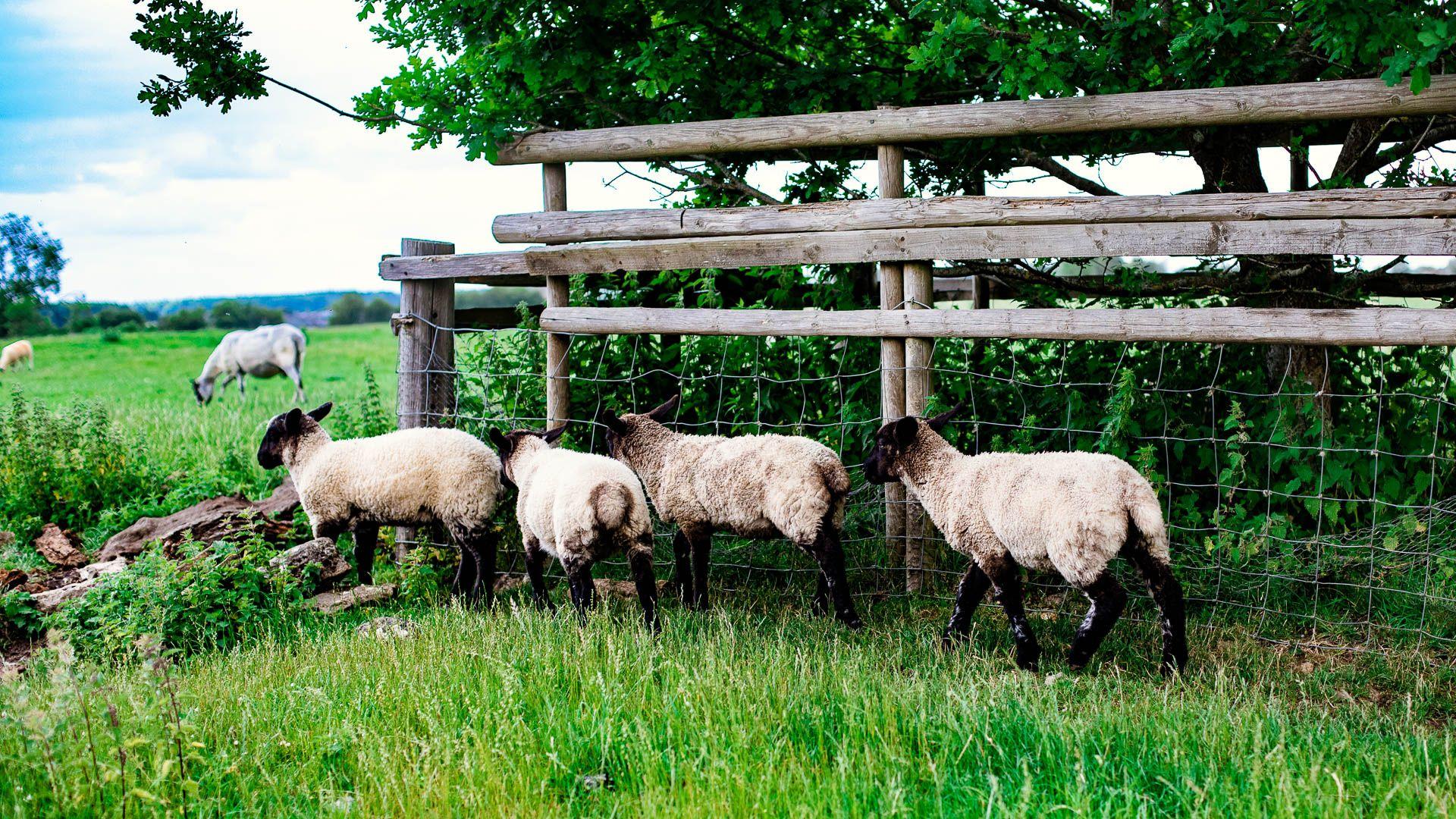 Sheep, Oak Tree Cottage, Bolthole Retreats