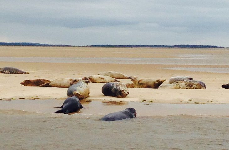 Grey and common seals on Wells Beach
