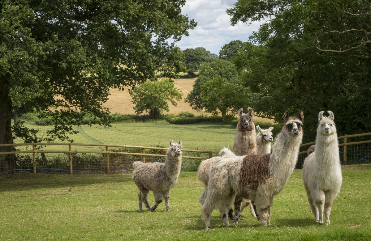 The property is set within a working farm that consists of llamas, cows and dogs. Llama walks and activities can be booked directly through the owners