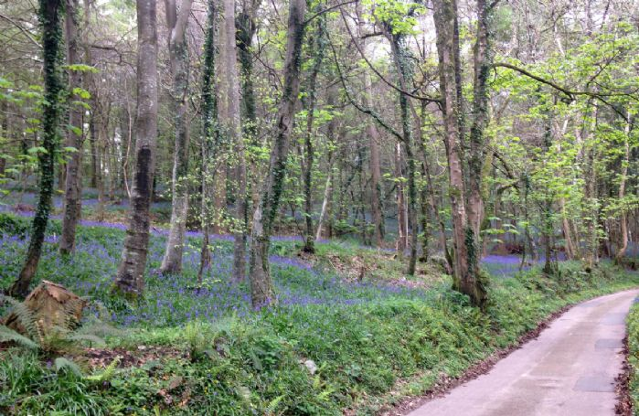 In springtime bluebells can be seen in the lane leading to The Artist's Studio