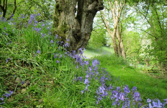 The bluebell woods in the Spring time