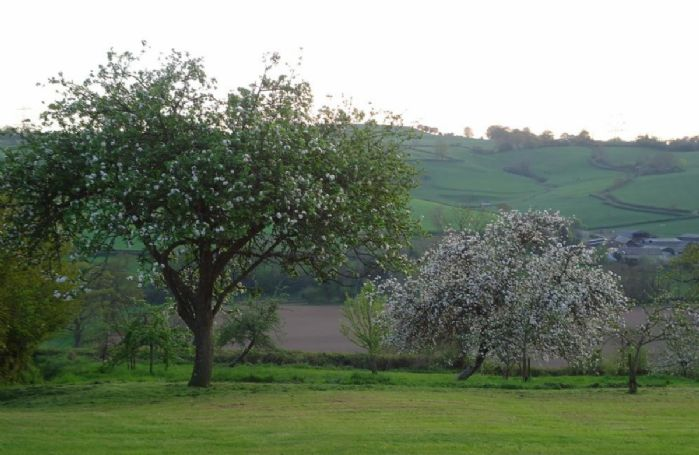 Wellands orchard apple blossom