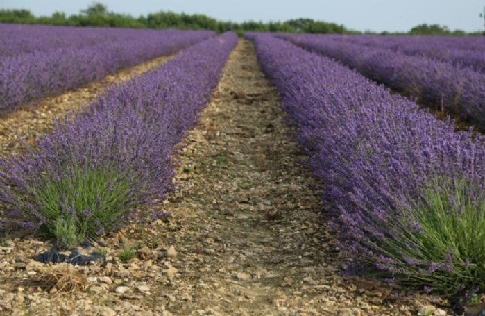 Nearby lavender fields