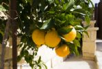 Oranges in the Garden