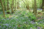 Thumbnail Image - Bluebells in the Woodland trail near the property