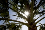 Sun Through Palm Trees