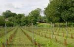 Thumbnail Image - The vineyard beside the Bluebell Railway
