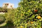 Surrounding Orange Trees
