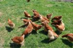 Thumbnail Image - Free range chickens