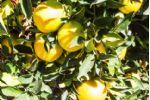 Orange Trees in Garden