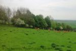 Thumbnail Image - Deer visiting in the fields close by