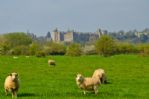 Thumbnail Image - Local sheep in front of Arundel Castle