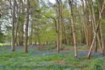 Thumbnail Image - Bluebells in the wood at the end of the garden