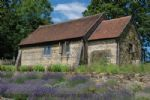 Thumbnail Image - The lavender on display beneath the cottage