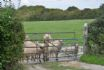 The sheep coming to say hello